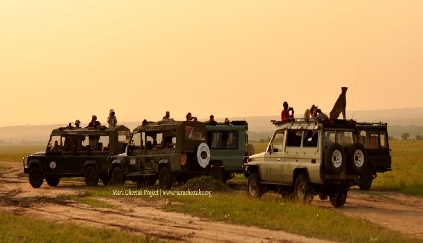 Cheetah on vehicle in the Mara