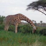 Towering Beauties, Samburu National Reserve