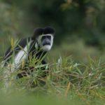 Guereza colobus monkey aberdares range kenya