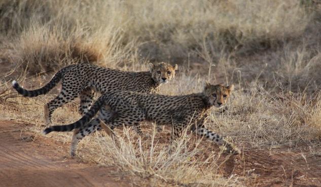 action for cheetahs in Kenya
