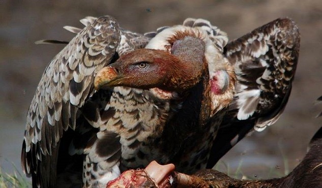 ruppells-vulture-photo-by-s-kapila-633x370