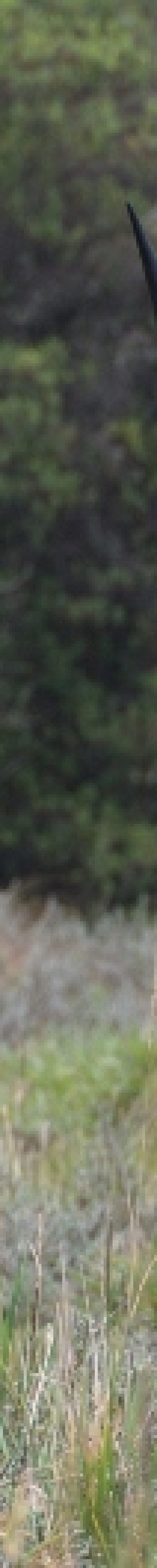 Common waterbuck in Aberdares