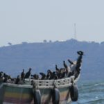 Cormorants on the fishing boat near Sindo on Lake Victoria