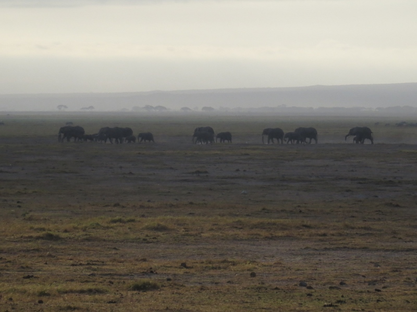 elephants-in-amboseli-heading-to-swamps-oct-2016-copyright-maya-mangat-800x600