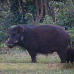 Giant forest hog in the Aberdares