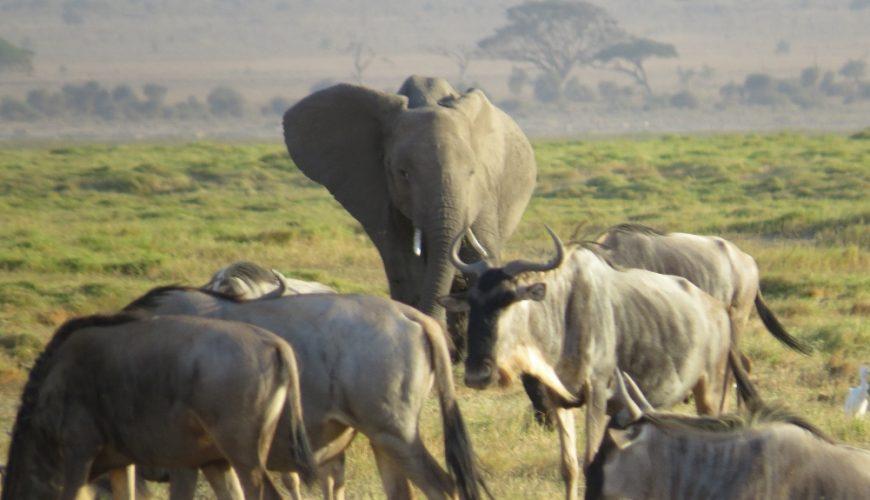 Amboseli elephant and wildebeest