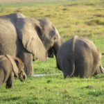A new generation of elephant family - baby in Amboseli swamp with Mum and older sibling Copyright Maya Mangat