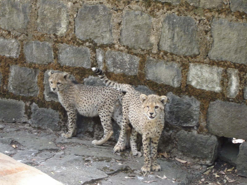 Scout and Patch, two 3-month old cubs reported to CCF by a US Marine soldier and confiscated from a restaurant in Gedo, Ethiopia in 2005 by the Ethiopian Environmental Protection Authority. Both cubs died a few months later. © Befekadu Tefera, 2005.