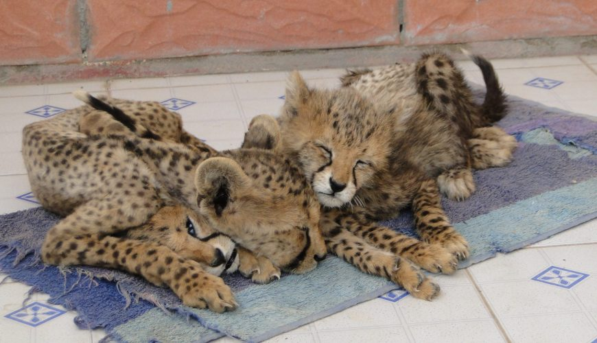Cheetah cubs confiscated from the illegal pet trade in the Somali region of Somaliland. The cub on the bottom had just died due to inadequate care. The other two cubs