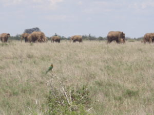 Part of a herd of 300 elephants on Dika plains in Tsavo East with Madagascar bee-eater