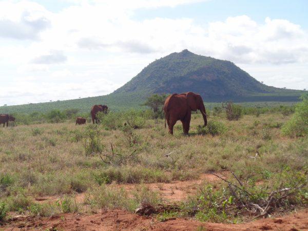 The iconic red elephants of Tsavo