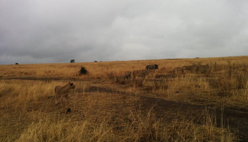 Lion pride in Nairobi National Park