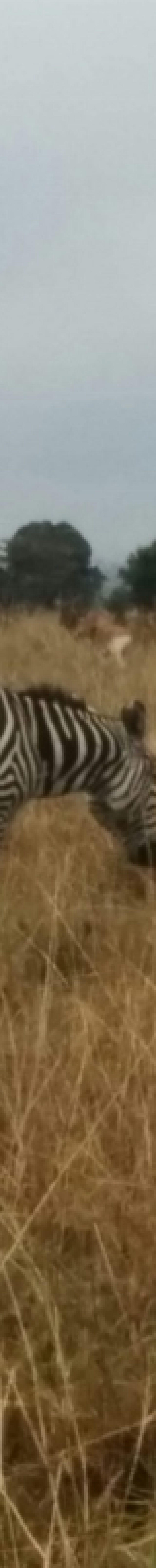 Zebra on the plains of Nairobi National Park