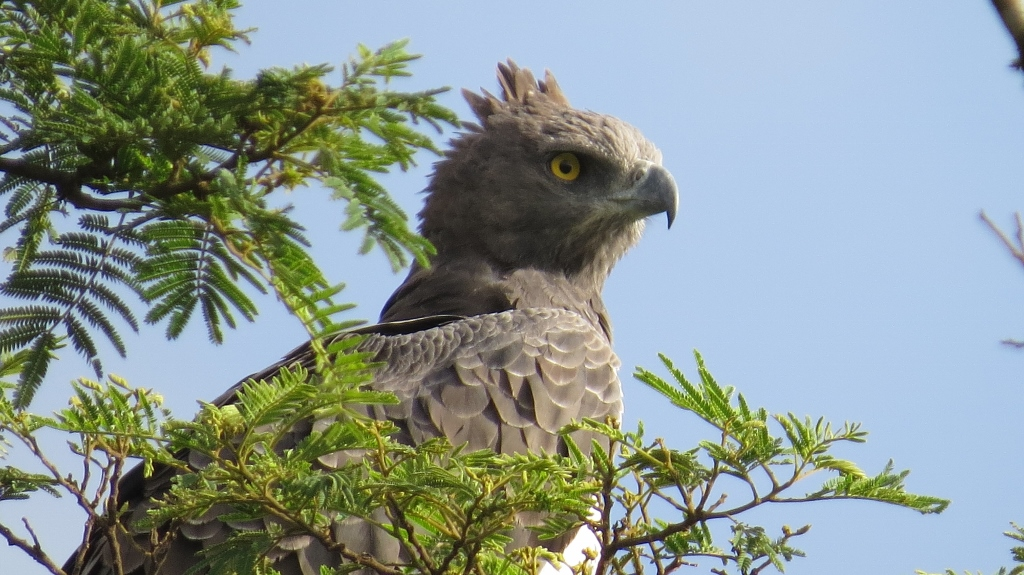 Mighty raptor - the Crowned Eagle in Nairobi National Park