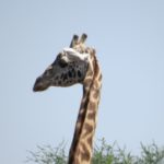 Maasai giraffe in Nairobi National Park