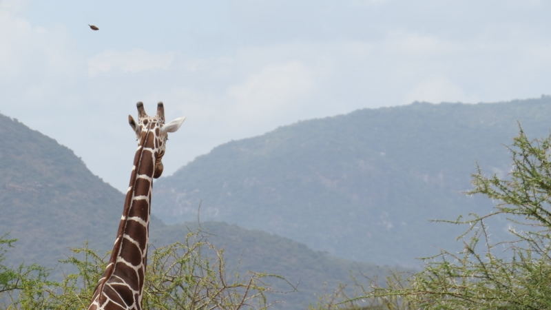 Reticulated giraffe in northern Kenya