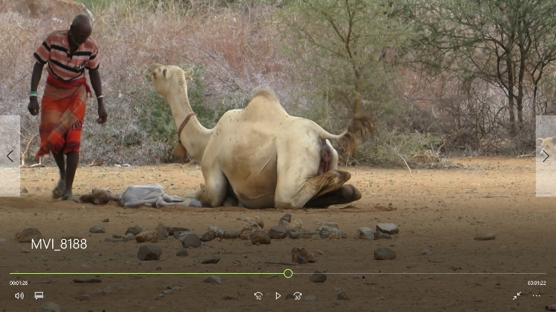 Camel given birth with foal by her near Ngurunit in Ndoto Mountains
