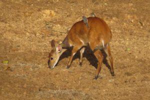 Bushbuck at Serena Mountain Lodge waterhole