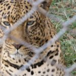 Talek the leopard rescued from Maasai Mara in Nairobi Animal Orphanage