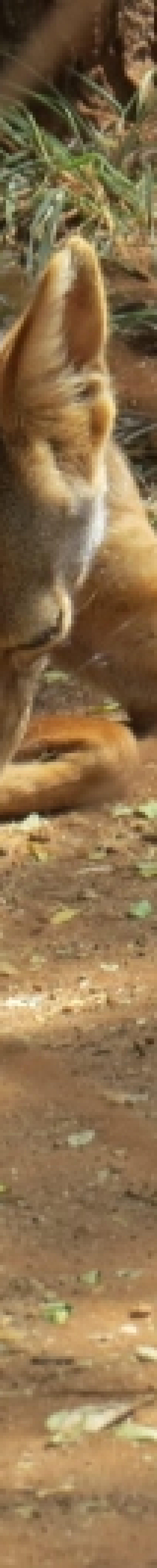 Silver back jackal at Nairobi Animal Orphanage - Copyright Maya Mangat