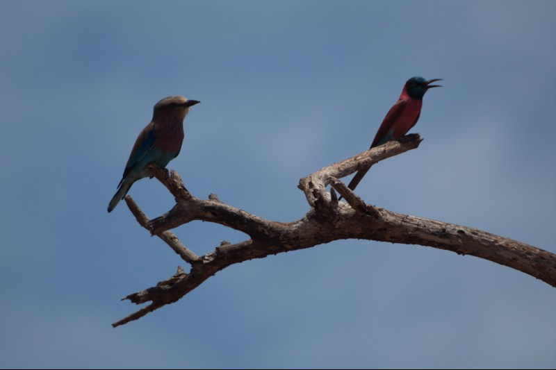 Stunning birds: Lilac-breasted rolllar and Carmine bee-eater on same branch in Tsavo West Copyrigh Rupi Mangat