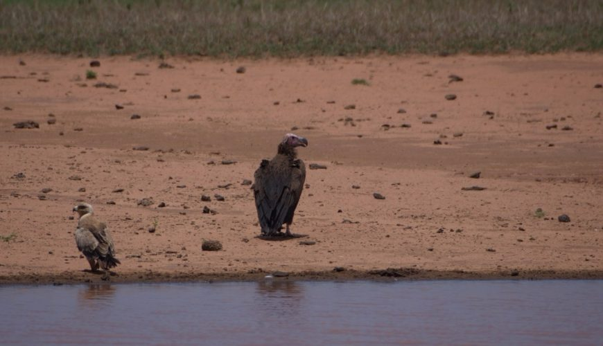 Lappet-faced vulture with Tawny eagle in Tsavo West National Park at Lake Jipe on the Kenya-Tanzania border Copyright Luca Borghesio