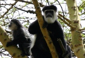 Guereza colobus or mantled colobus - monkeys of the old forest. They rarely come down to earth and feed mostly on leaves. Picture courtesy: Kat Combes,Soysambu Conservancy