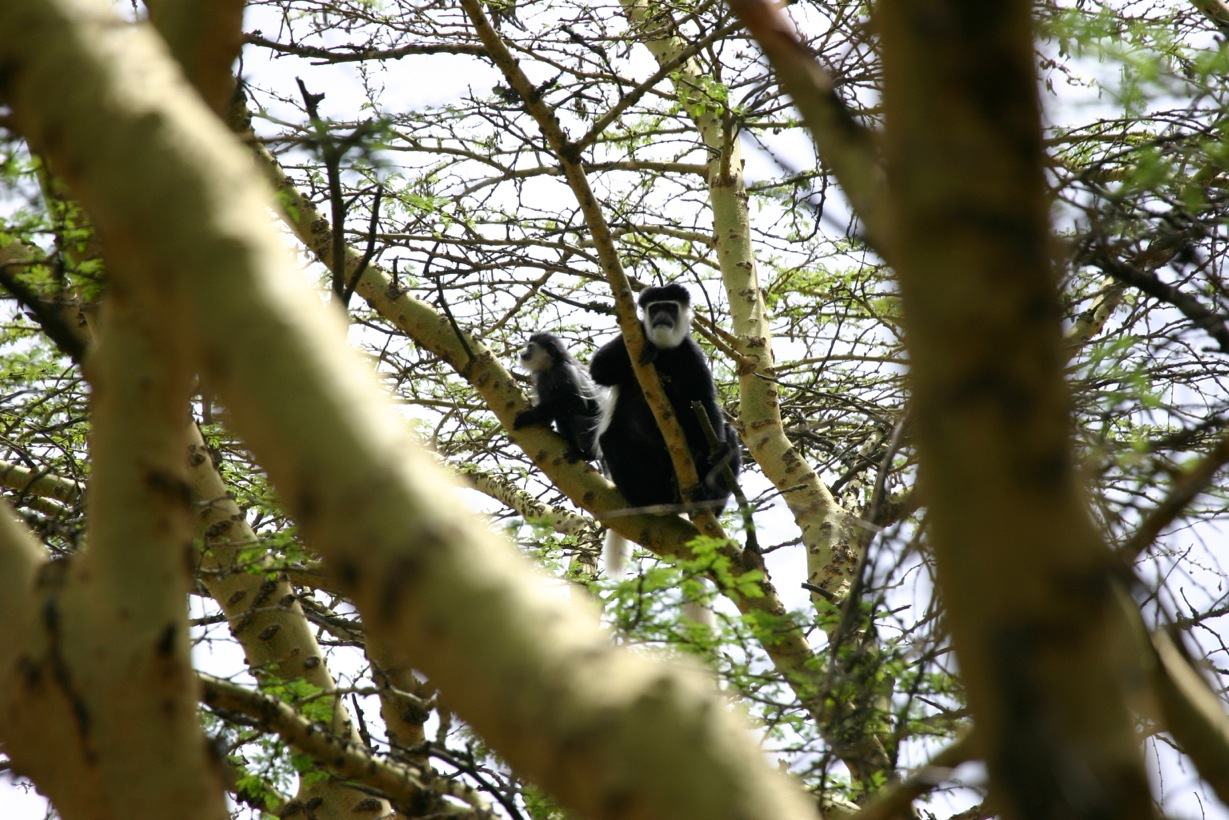 Colobus gueurza - These monkeys of the old forests rarely come to ground. They are speecialized leaf-eaters. Picture cortesy: Kat Combes