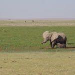 Calf suckling mother in Amboseli Swamp Copyright Rupi Mangat