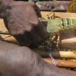 lobster - local fishers dive for them-copyright picture Maya Mangat.