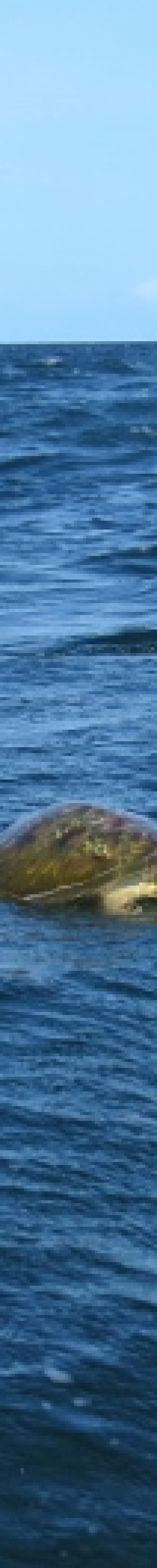 Green turtle - Kiunga Marine National Reserve Copyright Maya Mangat