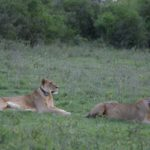 Both Flir and Valentine May 23 2017 when they came out of the dens in Soysambu Conservancy 2017 copyright Kat Combes