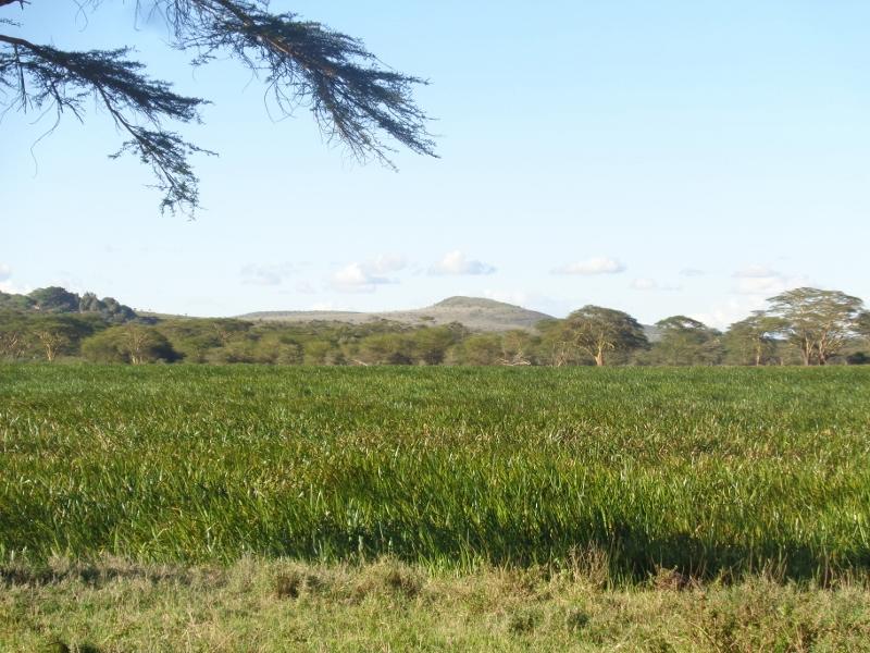 The rich swamp at Lewa -copyright Rupi Mangat