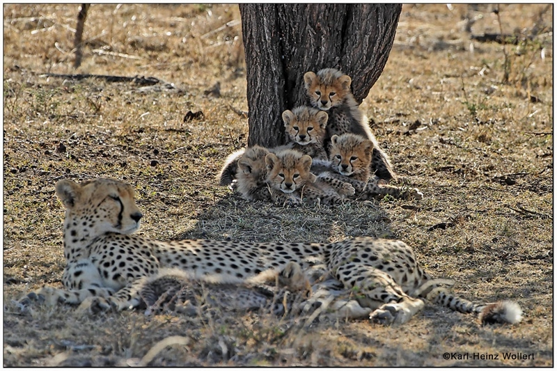 """Wild cheetahs cubs with their mother in the Masai Mara. © Karl-Andreas Wollert."
