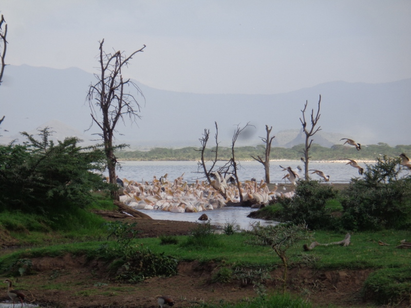 Great White pelicans Soysambu 27 May 2017 rupi mangat copyright