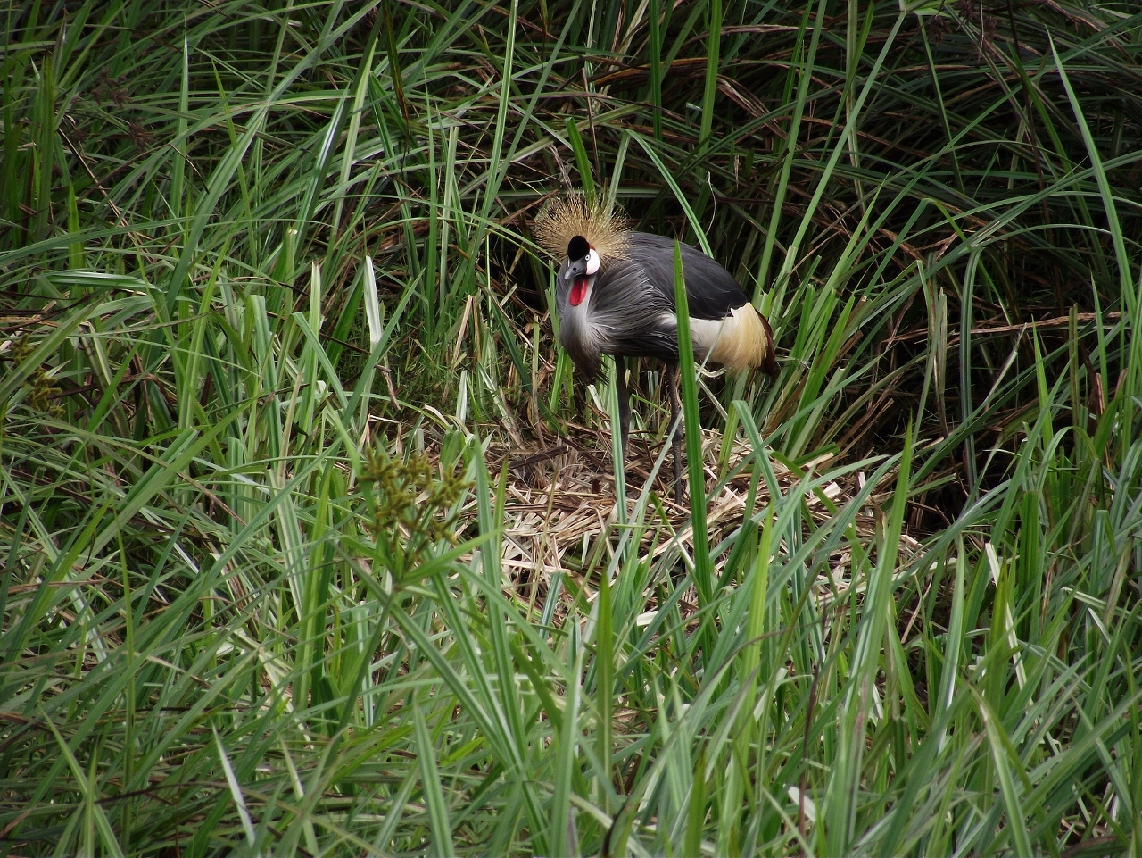 Grey Crowned Crane on its nest Copyright: International Crane Foundation / Endangered Wildlife Trust Partnership
