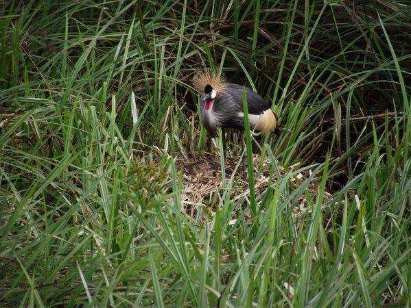 Grey Crowned Crane on its nest Copyright: International Crane Foundation / Endangered Wildlife Trust Partnership