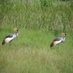 Grey Crowned Cranes pair for life Courtesy: International Crane Foundation / Endangered Wildlife Trust Partnership