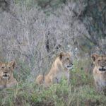 Flir's cubs in Soysambu Conservancy 2017 copyright Kat Combes