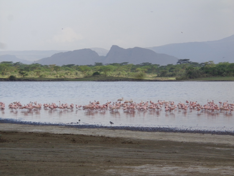 Lesser flamingoes in Lake Elmenteita against Delamere's Nose (the hill in the background) - Soysambu 27 May 2017 Copyright Rupi Mangat