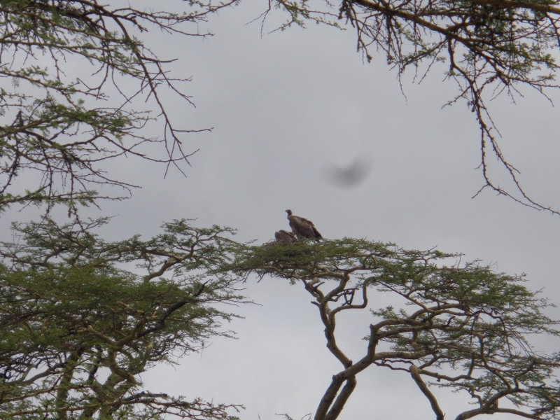White backed-vultures at Swara Plains outside Nairobi Copyright Rupi Mangat