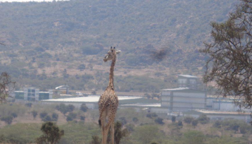 Masai giraffe looking at cement factory by Lukenya Hill on Athi-Kapiti plains outside Nairobi Copyright Rupi Mangat