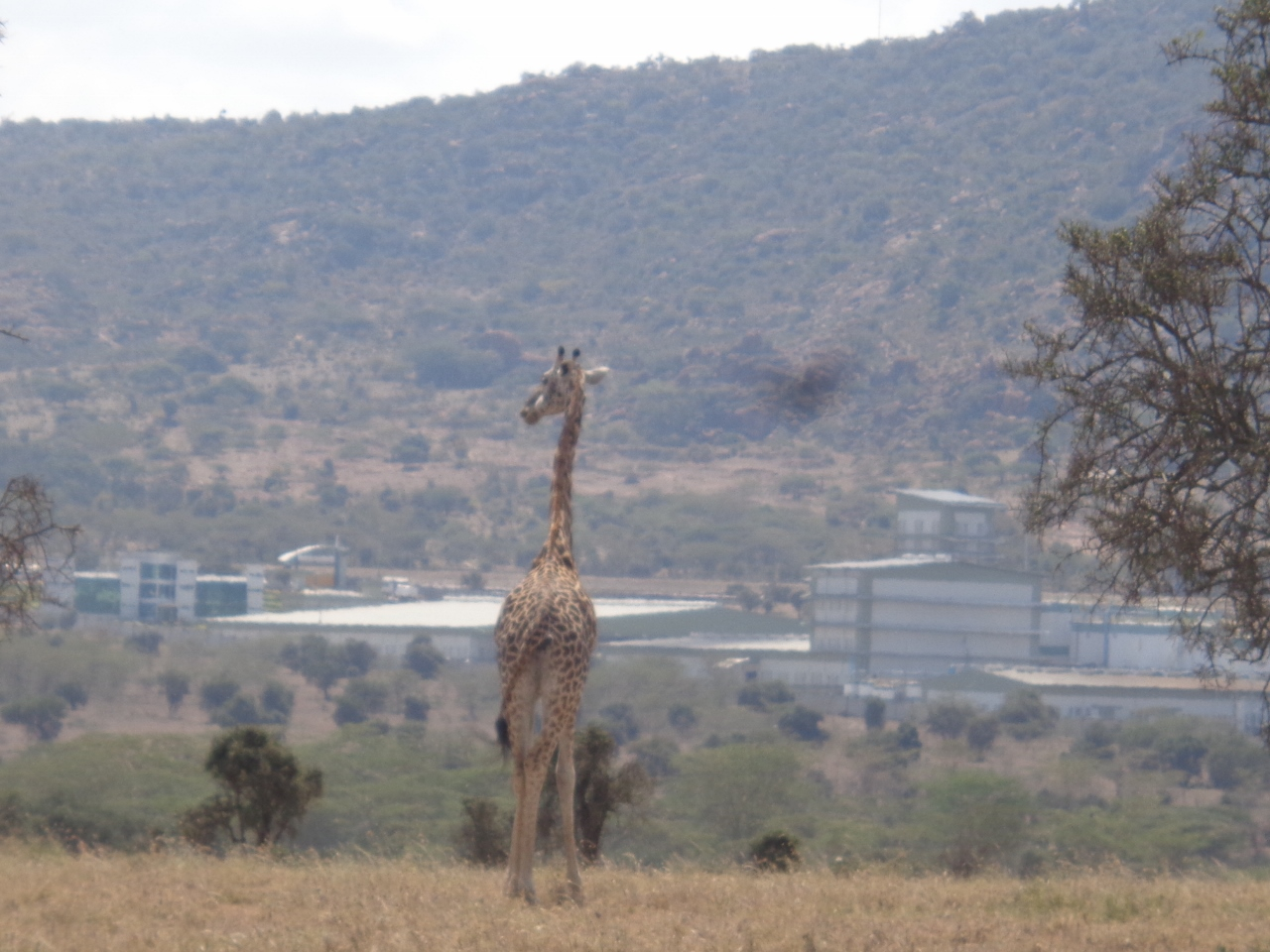 Masai giraffe looking at cement factory by Lukenya Hill on Athi-Kapiti plains outside Nairobi Copyright Rupi Mangat