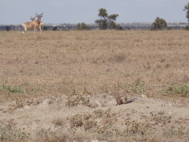 Coke's hartebeest and Striped ground squirrel on Swara Plains outside Nairobi Copyright Rupi Mangat