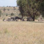 Wildebeest on Swara Plains outside Nairobi Copyright Rupi Mangat