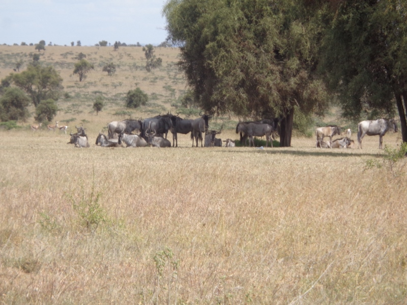 Wildebeest on Swara Plains outside Nairobi Copyright Rupi Mangat