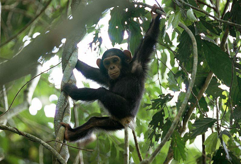 Chimpanzee baby playing in the forest Image by: Michael Nichols