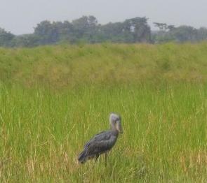 Shoebill stork - we saw two - of the 500-1000 at Ziwa Rhino Sanctuary The pharoahs knew of them. Copyright: Rupi Mangat