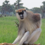 Patas monkey - a terrestrial monkey that likes the grasslands. It's the fastest running primate - not see much in Kenya. Copyright Rupi Mangat