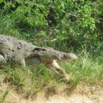 The Nile crocodile on the banks of the Nile near Murchison Falls - copyright Rupi Mangat